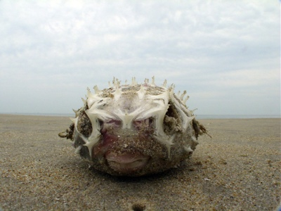 Blowfish - Photo of the week